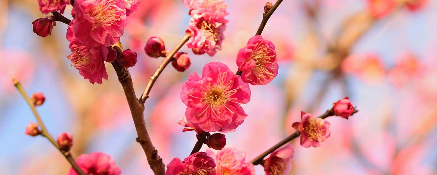 梅の画像 p1_4